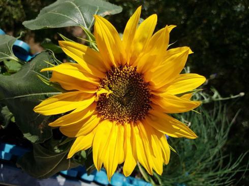 saturday-club-sunflower